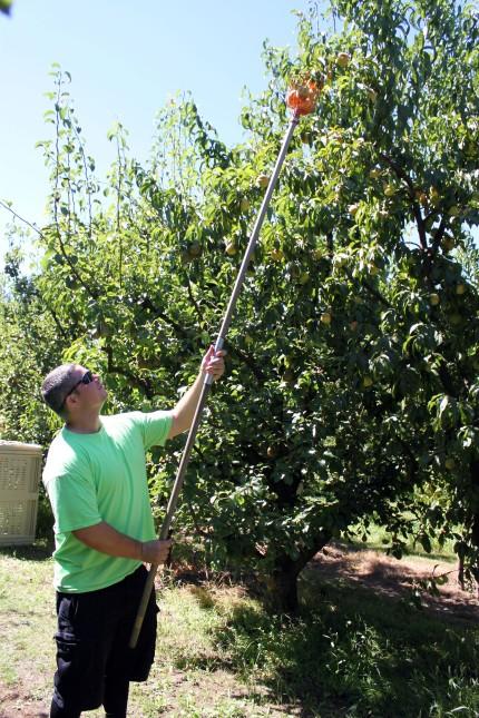 Cameron McKirdy picks fruit