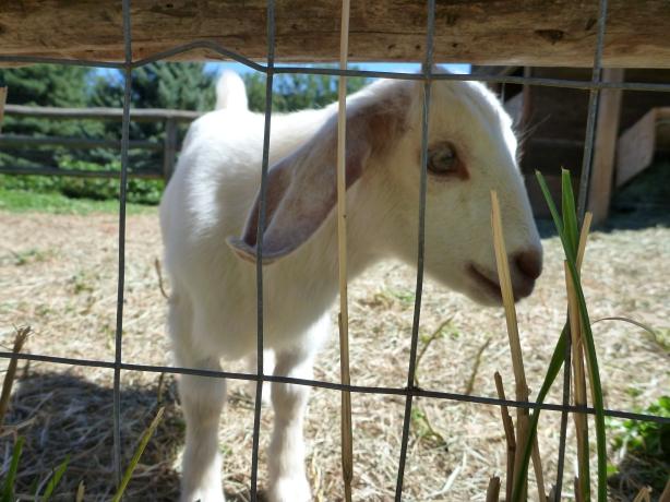 Draper Girl's Goat Farm