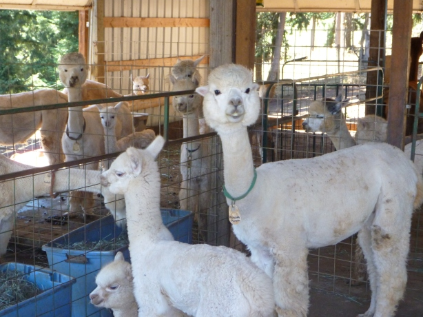 Cascade Alpacas and Foothills