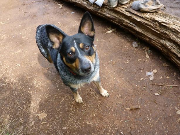 Roscoe Dog