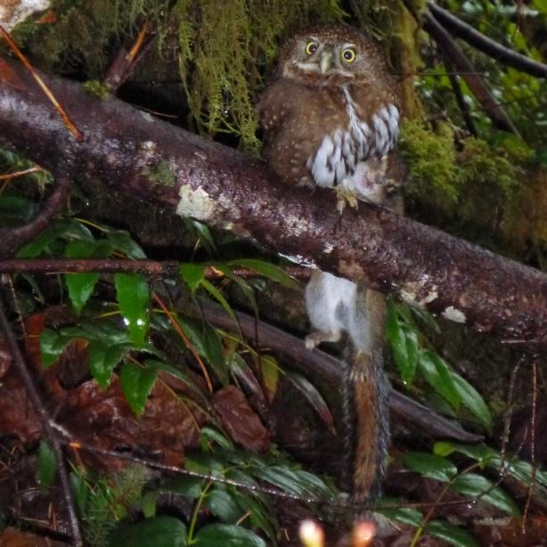 Owl Kills Squirrel and Poses for Cameron McKirdy's Camera http://www.CameronMcKirdy.com