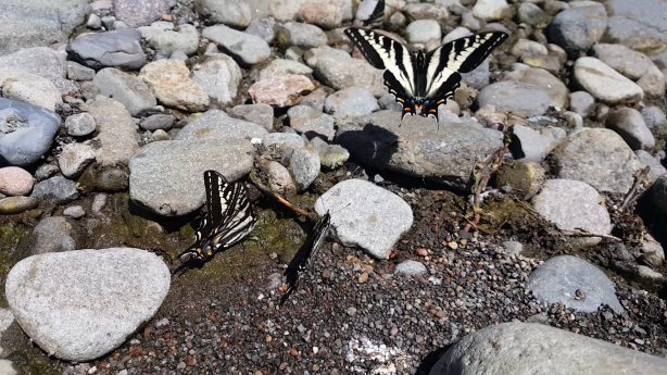 Oregon Swallowtail Butterflies
