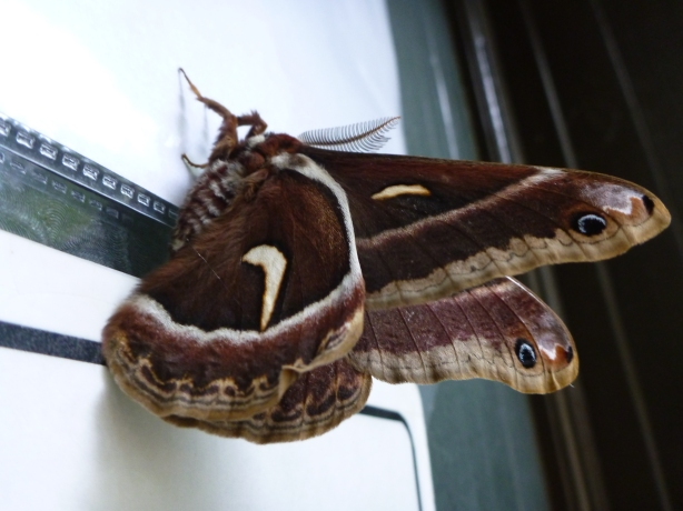Giant Moth in OR